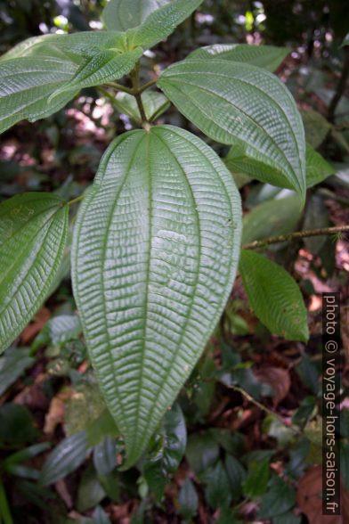 Côtelette grandes feuilles. Photo © André M. Winter