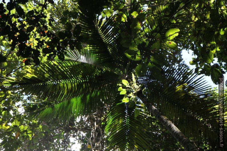 Palmier dans la forêt tropicale. Photo © Alex Medwedeff