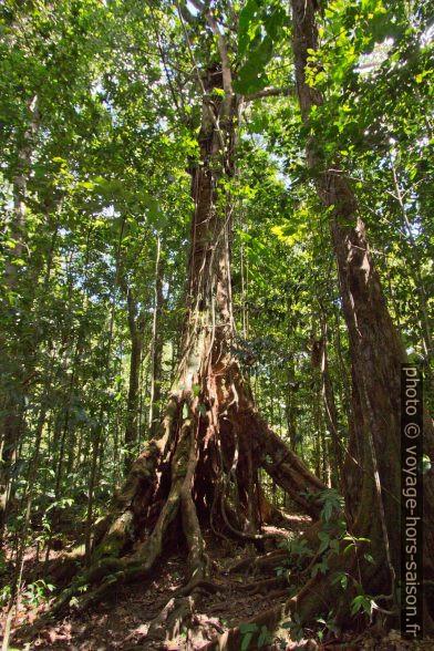 Arbre aux racines étendues. Photo © André M. Winter