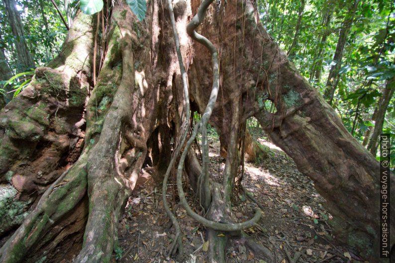Tronc vide d'un arbre aux racines étendues. Photo © André M. Winter