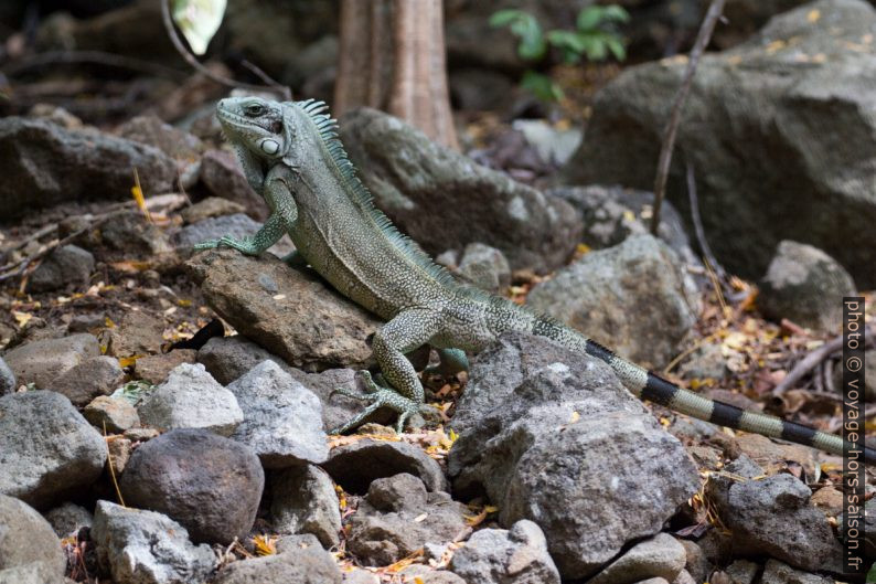 Iguane vert. Photo © André M. Winter