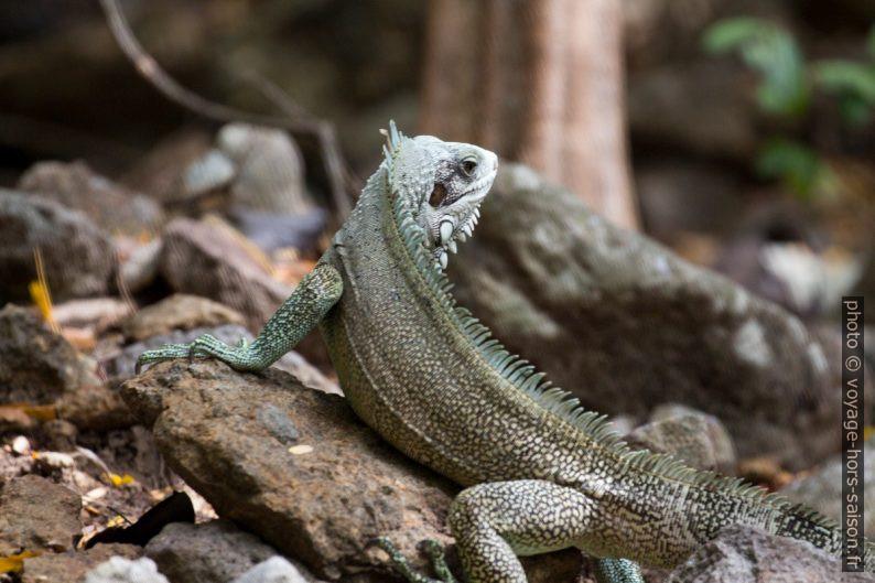 Iguane vert avec la tête tournée. Photo © André M. Winter