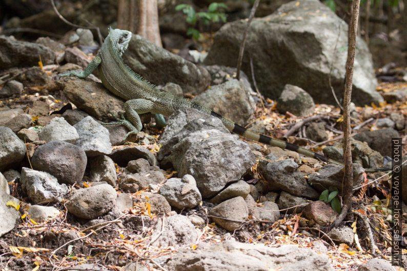 Iguane vert en forêt. Photo © André M. Winter