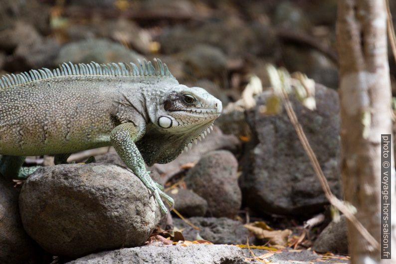 Iguane vert vu de profil. Photo © André M. Winter