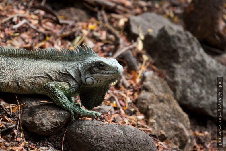 Iguane vert avec le le fanon gulaire bien visible. Photo © André M. Winter