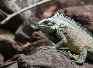 Tête d'un iguane vert. Photo © André M. Winter