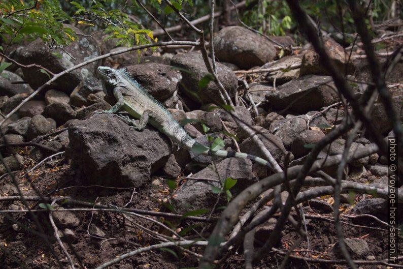 Iguane vert dans la forêt sèche de la Côte sous le Vent. Photo © André M. Winter