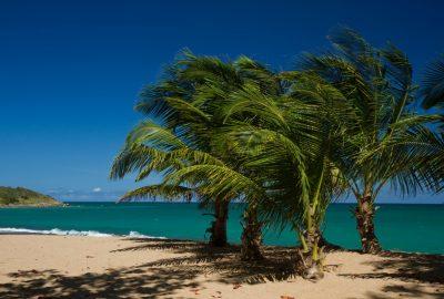 Jeunes palmiers sur la Plage des Amandiers. Photo © Alex Medwedeff