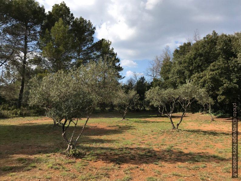 Jeunes oliviers. Photo © Alex Medwedeff