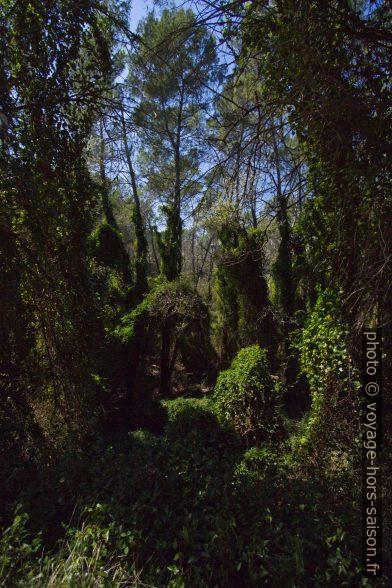 Forêt envahie de salsepareille et de lierre. Photo © André M. Winter