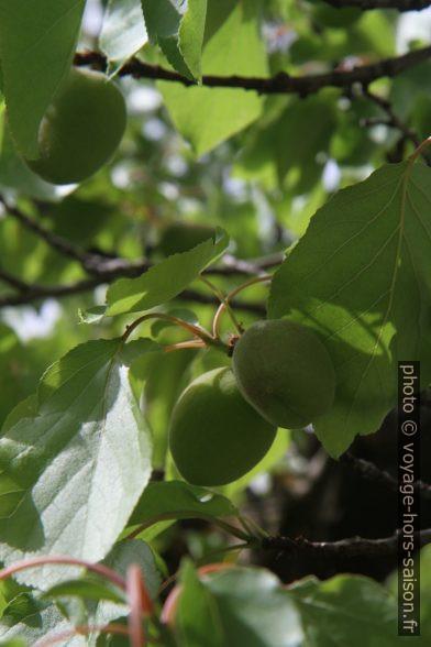 Abricots immatures sur un arbre. Photo © Alex Medwedeff