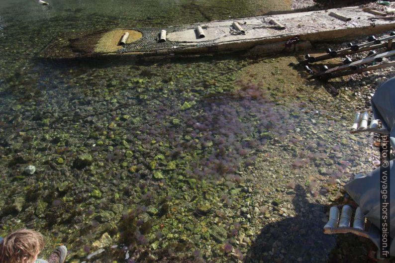 Méduses dans le port de Morgiou. Photo © André M. Winter