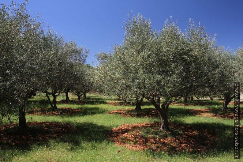 Oliveraie en Provence Verte. Photo © Alex Medwedeff