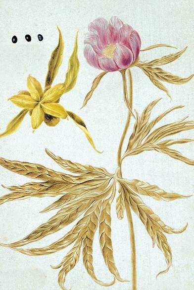 Illustration du livre Flora Sibirica de Gmelin