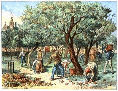Cueillette des pommes pour la production du cidre