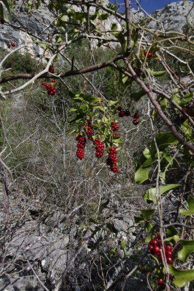 Fruits de la salsepareille. Photo © André M. Winter