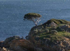 Pin solitaire su un îlot de l'Estagnol. Photo © André M. Winter