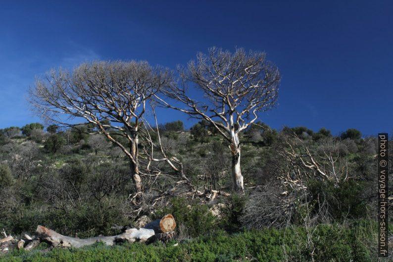 Pins morts près du Dolmen de la Briande. Photo © Alex Medwedeff