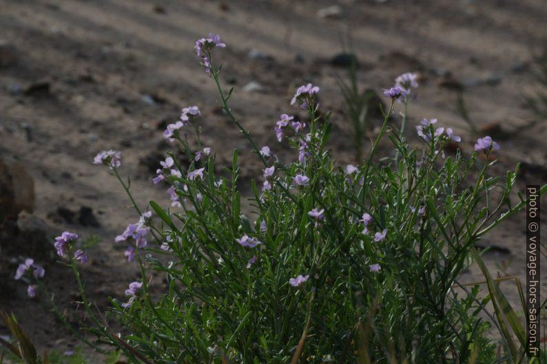 Fleurs violettes des dunes. Photo © André M. Winter