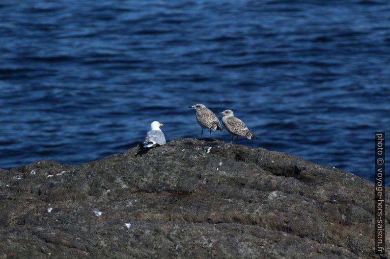 Mouettes sur un rocher. Photo © André M. Winter
