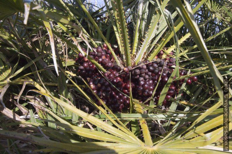 Fruits mûrs du sur un palmier nain. Photo © André M. Winter