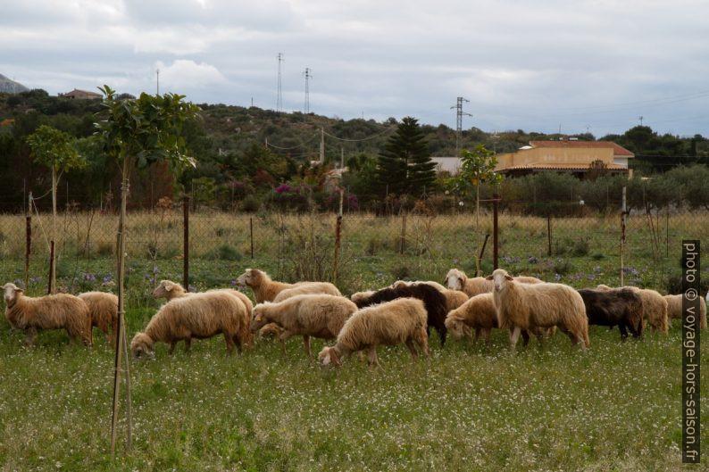 Moutons dans un champ. Photo © Alex Medwedeff