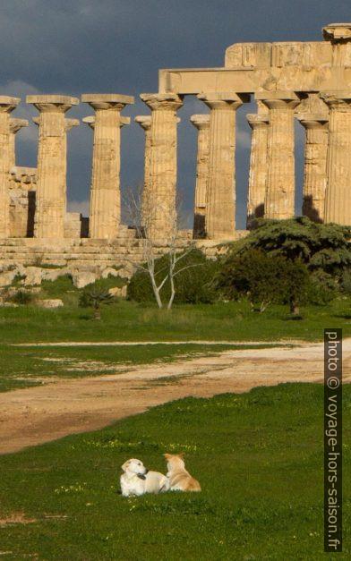 Chiens errants devant le Temple E de Selinunte. Photo © André M. Winter