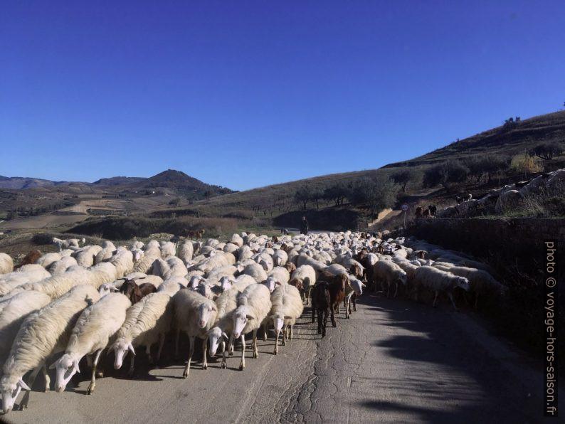 Croisement d'un troupeau de moutons. Photo © Alex Medwedeff