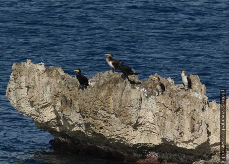 Cormorans sur un rocher devant la côte. Photo © André M. Winter