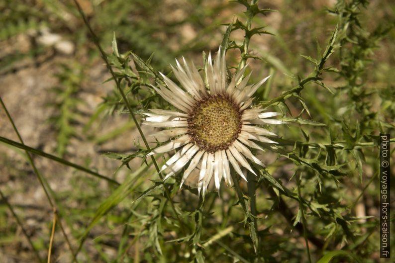 Fleur de chardon. Photo © André M. Winter