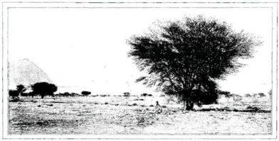 De temps en temps, la forêt de gommiers se révèle par un arbre