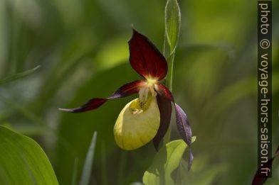 Fleur de sabot de Vénus. Photo © André M. Winter