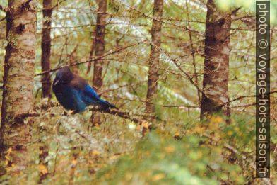 Oiseau bleu. Photo © André M. Winter