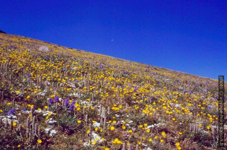 Pré de fleurs sur les versants du Mount Washburn. Photo © André M. Winter
