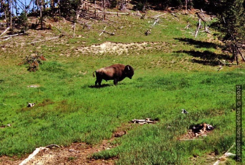 Bison dans la Mud Vulcono Area. Photo © André M. Winter