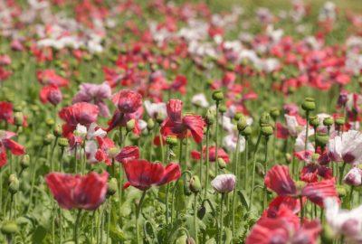Fleurs de pavot rouges et blanches dans un champ. Photo © André M. Winter
