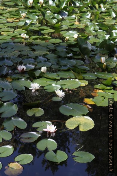 Nénuphars blancs dans l'étang Blockheideteich. Photo © Alex Medwedeff