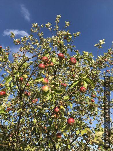 Pommier et pommes en été. Photo © Alex Medwedeff