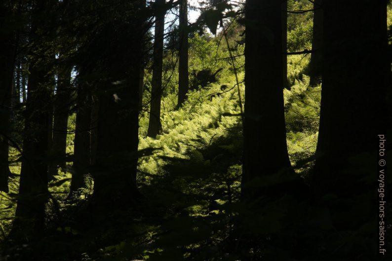 Fougères dans la forêt. Photo © André M. Winter