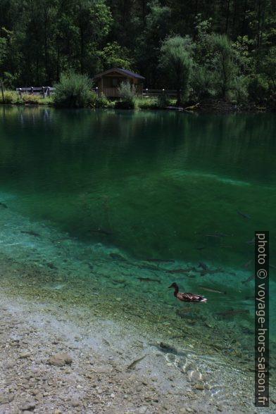 Un canard et des truites au lac Bluntausee inférieur. Photo © Alex Medwedeff