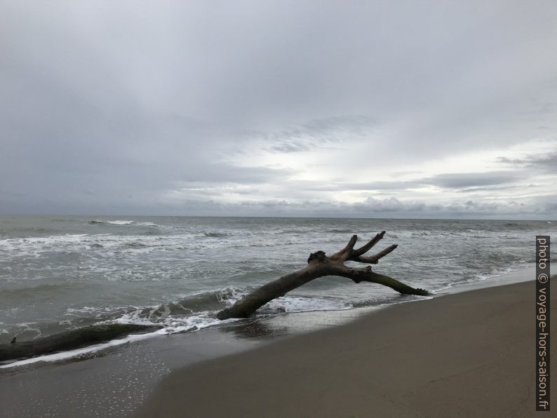 Bois mort à la plage de Marina di Alberese. Photo © Alex Medwedeff