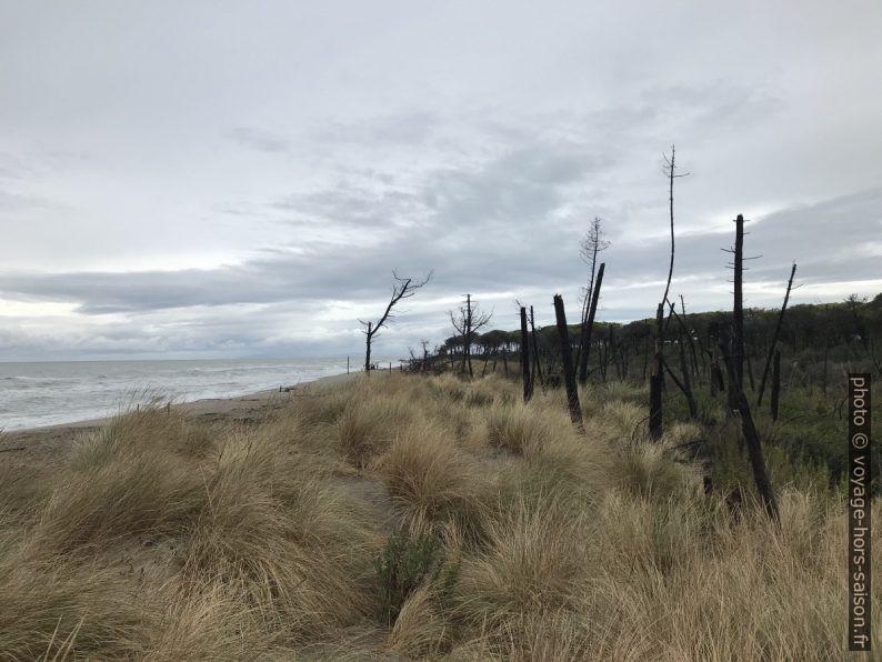 Arbres morts à la plage de Marina di Alberese. Photo © Alex Medwedeff
