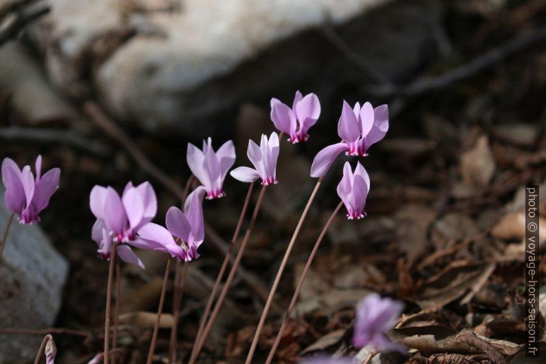 Fleurs de cyclamen. Photo © André M. Winter