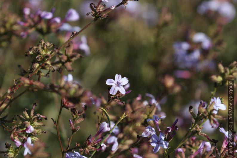 Fleurs bleues d'automne. Photo © André M. Winter