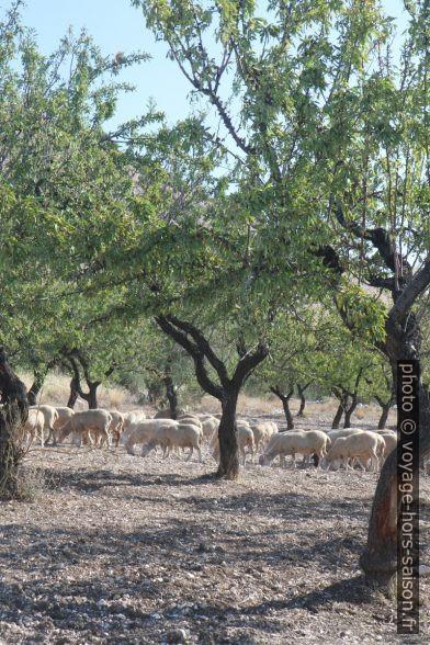 Des moutons désherbent une amanderaie. Photo © Alex Medwedeff