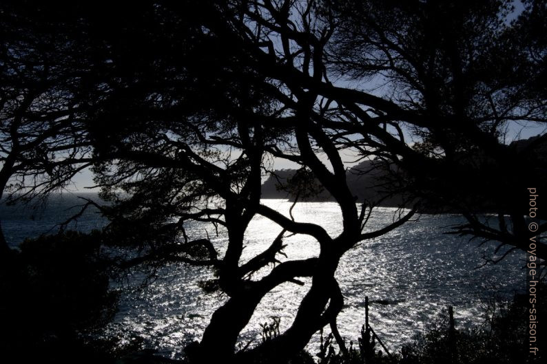 Contre-jour à travers les branches de pins. Photo © André M. Winter