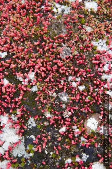 Lichens et mousses en fleurs sur un rocher. Photo © Alex Medwedeff