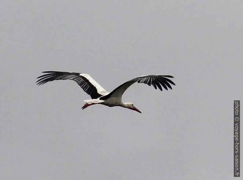 Cigogne en vol. Photo © André M. Winter