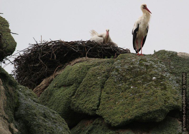 Cigognes et leur nid sur un rocher en granite. Photo © André M. Winter