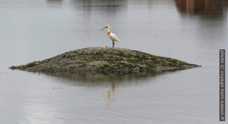 Spatule blanche au bord du lac des Barruecos. Photo © André M. Winter